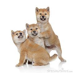 Photo about Three Shiba-inu puppies on a white background. Image of animals, furry, stare - 22034530 Shiba Inu, Akita Inu Puppy, Shiba Puppy, Buy Puppies, Dogs And Puppies, Animals Images, Cute Animals, Animal Pictures, Hachiko