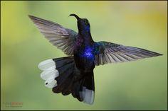 Violet Sabrewing (Campylopterus hemileucurus) in flight at Cinchona, Costa Rica. For more visit www.chrisjimenez.net