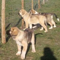 Camada de Mastín Español spanish mastiff puppies