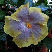 Taiwan Hibiscus - Linda Lee Blue Hibiscus, Exotic Plants, Pretty Flowers, Taiwan, Hot, Garden, Orchids, Tropical, Beauty