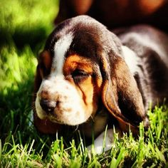 The basset hound puppy is a short-legged breed of dog of the hound family. Basset hound puppies are scent hounds, bred to hunt rabbits by scent. Baby Basset Hound, Basset Puppies, Hound Puppies, Cute Puppies, Cute Dogs, Dogs And Puppies, Beagles, Cute Creatures, Puppy Pictures