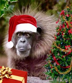 Sorry your Christmas card is late. Christmas Hat, Christmas Animals, Merry Christmas, Christmas Ideas, Monkey Art, Pet Monkey, Winter Pictures, Christmas Pictures, Fluffy Animals