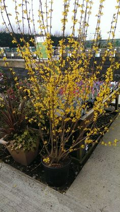 A beautiful specimen of Forsythia 'Lynwood'.