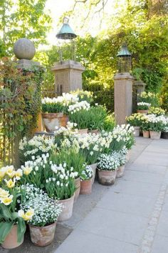 Container Gardening Ideas Beautiful french cottage garden design ideas 45 white bulbs mass planted in aged terracotta pots beautiful garden design Inspriation Back Gardens, Outdoor Gardens, Outdoor Pots, Courtyard Gardens, Outdoor Life, Indoor Outdoor, Outdoor Decor, The Secret Garden, Cottage Garden Design