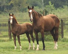 Gelderlanders-Dutch farm/cavalry horses and one of the founding breeds for Dutch warmbloods