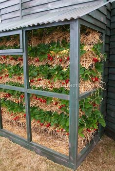 Strawberries Grown in Vertical Tiers using hay. Hmmmm let me know if anyone tries!