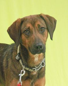 Meet Doo, an adoptable Hound looking for a forever home. If you're looking for a new pet to adopt or want information on how to get involved with adoptable pets, Petfinder.com is a great resource.