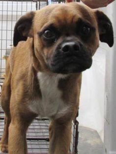 Puggle dog for Adoption in Crystal, MN. ADN-406728 on PuppyFinder.com Gender: Male. Age: Adult