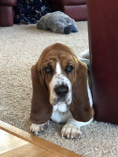 Lucy is almost 2 years old and a great family friend. Lucy likes to go for walks and takes snoozes. Share your basset! Basset Hound Dog, Beagle Puppy, Lap Dogs, Dogs And Puppies, Mountain Dogs, Bernese Mountain, Bassett Hound, Teacup Chihuahua, Labrador Retriever Dog