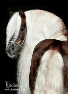Dark brown horse with long white manes