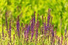 7 επικίνδυνα φυτά που δε θα πρέπει να έχετε στο σπίτι - Με Υγεία Nerium, Salvia, Plant, Sage