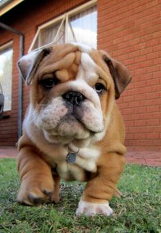 Cuteness coming your way! - Bulldog pup...i had a dream last night that i had one of these pups. maybe i should look into this