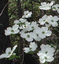 dogwood buds | ... dogwood blooms with their open bracts and inner cluster of flower buds