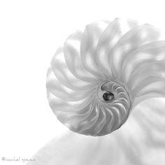Nautilus camerata fotografia...Conchiglia bianca natura accessibile Art Decor conchiglia conchiglia Nautilus molluschi cefalopodi vita tribale