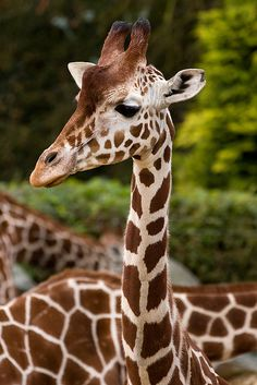 Mr. G. Raffe. Why do you have so many spots? Guess what he told me... ❤ ❤ ❤
