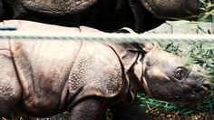 NewCa.com: 2016 Toronto Zoo. Baby Rhino First Public Appearance Exclusive media preview of the Toronto Zoo's @Toronto Zoo Indian rhino calf in his maternity exhibit inside the Indian Rhino Habitat #animals #BabyRhino #Rhinoceros  #Rhino #TorontoZoo #Toronto