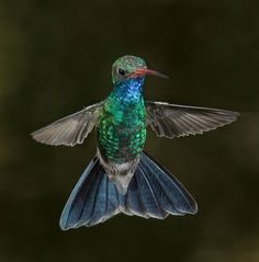 A beautiful broadbilled hummingbird taken with a 4 flash setup at a local…