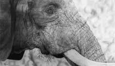African Elephant, graphite, 12×20 in. : Art