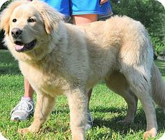 Newfoundland/Golden Retriever Mix Pet Dogs, Pets, Doggies, Golden Retriever Mix, Great Pyrenees, Mixed Breed, Service Dogs, Newfoundland, Pet Adoption