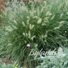 Fountain Grass - Pennisetum alopecuroides | Bylands Nurseries Ltd.