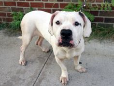 TO BE DESTROYED 9/4/14 Brooklyn Center -P  My name is NENA. My Animal ID # is A1011763. I am a female white pit bull mix. The shelter thinks I am about 6 YEARS old.  I came in the shelter as a OWNER SUR on 08/24/2014 from NY 11233, owner surrender reason stated was LLORDPRIVA. I came in with Group/Litter #K14-191546.