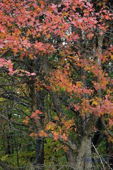 Mustamarjaorapihlaja - crataegus douglasii Ornamental Grasses, Fruit Trees, Shrubs, Berries, Landscape, Garden, Plants, Painting, Google Search