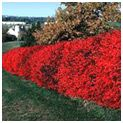 Burning Bush Shrubs zones 4-8 fantastic drought tolerence. grows 4-8 ft high and wide.