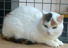 white cat with tabby points feral rehomed