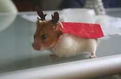 Duplicate: My princess had hamsters when she was a yittle gul. (A picture of a hamster dressed up like a reindeer (Source: Petco)) Animals And Pets, Baby Animals, Funny Animals, Cute Animals, Funny Hamsters, Chinchillas, Dwarf Hamsters, Hamster Costume, Cute Animal Pictures
