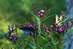 Butterflies Three  Two Eastern Tiger Swallowtails and a Pipevine Swallowtail butterflies flutter from flower to flower. the eastern Tiger Swallowtail is native to North... more  by Carol R Montoya