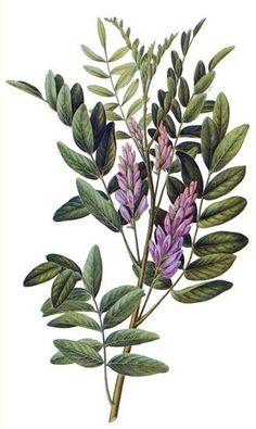 Regaliz (Glycyrrhiza glabra)