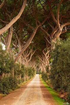 Honeymoon?  ~Livorno Tuscany Italy~ The stone pine (Pinus pinea), also called Italian stone pine, umbrella pine and parasol pine, is native to the Mediterranean region, occurring in Southern Europe, North Africa, and the Levant.