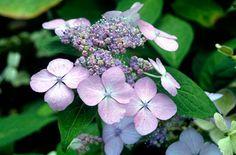 hydrangea 'Miranda': full sun or part shade, moist hut well drained soil, ph acid-neutral, flowers summer