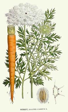 poison_Daucus_carota Queen Anne's lace or ild carrot Vintage Botanical Prints, Botanical Drawings, Botanical Art, Botanical Illustration, Vintage Prints, Illustration Art, Art Floral, Impressions Botaniques, Illustration Botanique