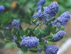 Ceanothus thyrsiflorus.  The Wild Garden: Hansen's Northwest Native Plant Database