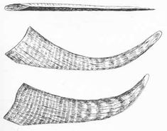 Anterior (or nasal) horns of the Woolly Rhinoceros, as illustrated by Guthrie in 1990. Note the strong curvature, blunt tips, obvious bands, and flattened leading-edge wear facets. The image at top shows how crazily compressed the horns are from side to side.