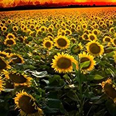 Growing Sunflower Plants Sunflower Care Tips For Big Beautiful Blooms Growing Sunflowers Planting Sunflowers Wild Sunflower