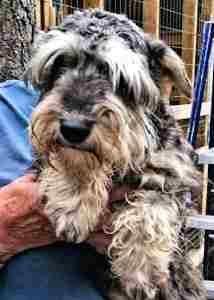 KASSIE the Schn... Lost Dog Rescue Arlington