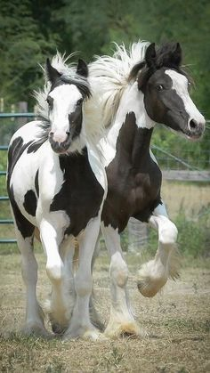 Pinto horses trotting side by side.