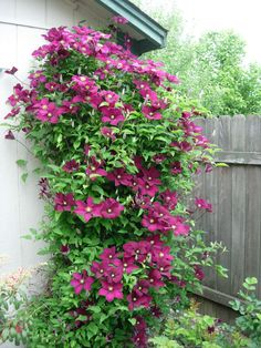 pictures of niobe clematis   Growing–A Gardeners Journal Just another WordPress.com site