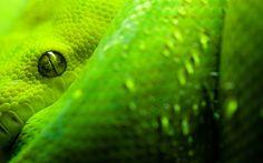 emerald tree boa snake animal
