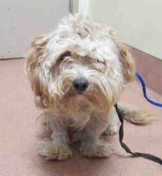 11/29 STILL THERE!! Animal ID #A1685734 ‒ I am described as a Male, White Miniature Poodle. The shelter thinks I am about 1 year old. I have been at the shelter since November 02, 2015. San Diego County Department of Animal Services Central Region - San Diego Telephone ‒ (619) 767-2675 5480 Gaines Street San Diego, CA https://www.facebook.com/OPCA.Shelter.Network.Alliance/photos/pb.481296865284684.-2207520000.1446930761./931658633581836/?type=3&theater