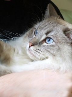 Gorgeous Rag Doll cat is GORGEOUS by nettness, via Flickr