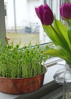 Smidig grönsak i slutet av februari Annie, Plants, Flora, Plant