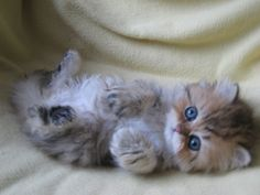Look at the face on this persian kitten