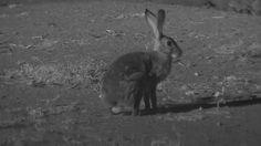 Scrub Hare at Naledi Cat-EYE Cam - Feb 19 2016 - 3:42am   Africam Hare, Cat Eye, Kangaroo, Wildlife, African, Animals, Baby Bjorn, Animales, Animaux