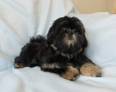 Dobie marked Shih tzu puppies. What does this mean? http ...