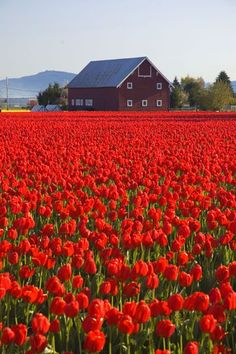 Skagit Valley barn beside the tulip fields in Washington State. Beautiful World, Beautiful Places, Freelance Photography, Tulip Fields, Red Tulips, Red Flowers, Flowers Bucket, Belle Photo, Beautiful Landscapes