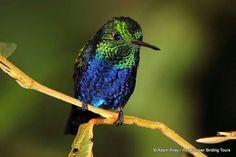 Violet-bellied Hummingbird - Adam Riley | Flickr - Photo Sharing!