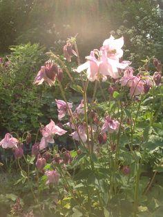 <3 Aquilegia Pale Pink   June Flowers